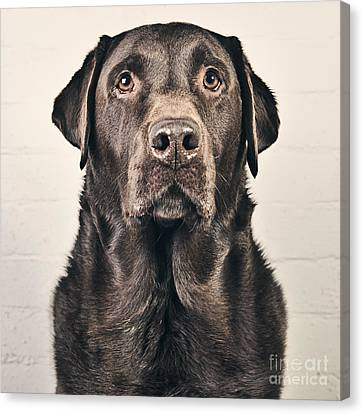 Chocolate Labrador Portrait Canvas Print