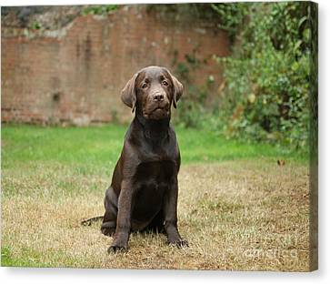 Chocolate Labrador Pup Sitting Canvas Print by Mark Taylor