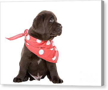 Chocolate Labrador Puppy In Neck Scarf Canvas Print