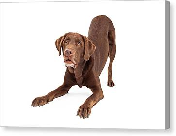 Chocolate Labrador Retriever Dog In Downdog Postion Canvas Print by Susan Schmitz