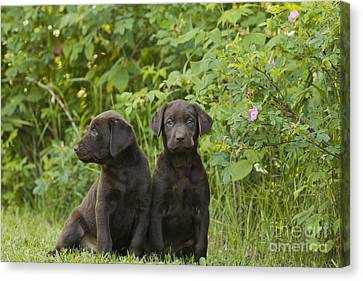 Chocolate Labrador Retriever Puppies Canvas Print by Linda Freshwaters Arndt