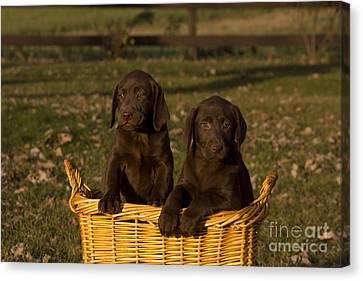 Chocolate Labrador Retriever Pups Canvas Print by Linda Freshwaters Arndt