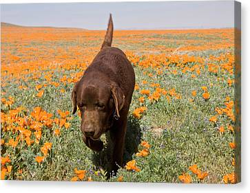 Chocolate Labrador Retriever Walking Canvas Print by Zandria Muench Beraldo