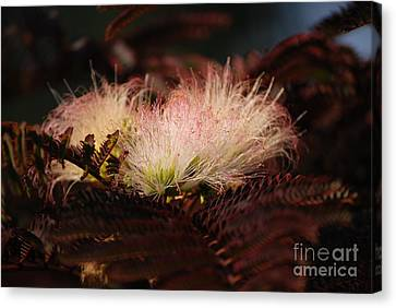 Chocolate Mimosa Flower Canvas Print by Mark McReynolds