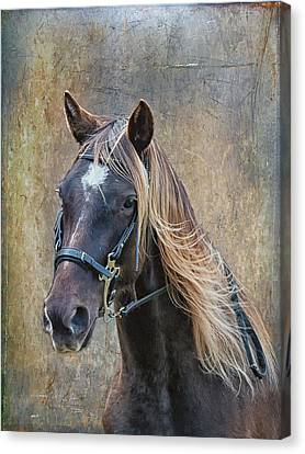 Chocolate Rocky Mountain Horse Canvas Print by Peter Lindsay
