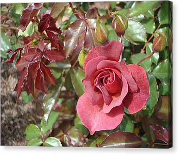 Chocolate Rose Canvas Print by James Hammen
