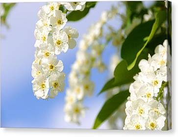 Choke Cherry In Bloom Canvas Print by Gary Whitton