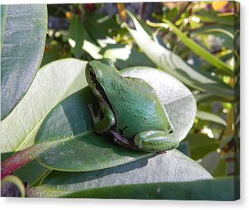 Chorus Frog On A Rhodo Canvas Print