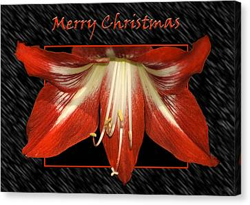 Christmas Amaryllis Canvas Print by Carolyn Marshall