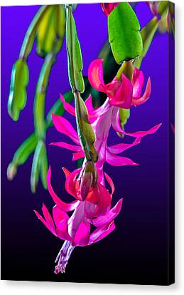 Christmas Cactus 2 Canvas Print by Brian Stevens