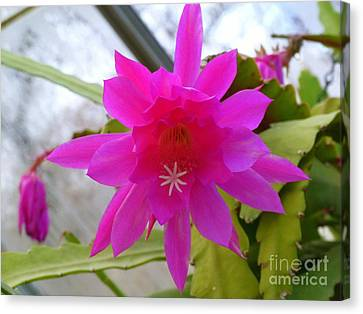 Christmas Cactus Star Canvas Print by Lingfai Leung
