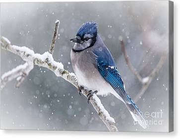 Christmas Card Bluejay Canvas Print by Cheryl Baxter