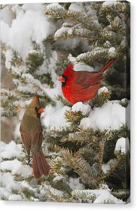 Christmas Card With Cardinals Canvas Print by Mircea Costina Photography