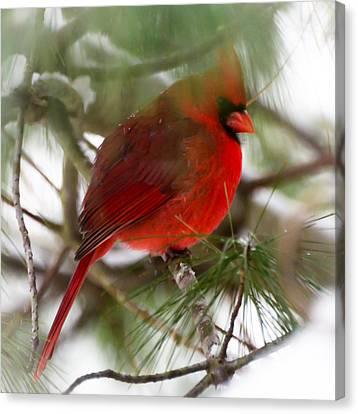 Christmas Cardinal Canvas Print by Kerri Farley