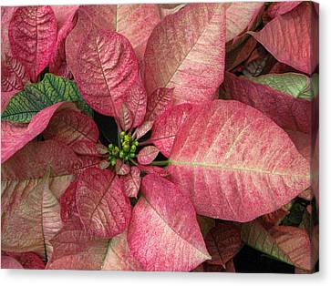 Canvas Print featuring the photograph Christmas Flower by Tammy Espino