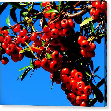 Canvas Print featuring the photograph Christmas Holly In Texas by David  Norman