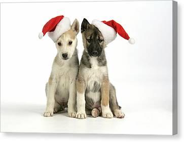 Christmas Huskies Canvas Print