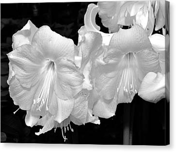 Christmas Lilies. Canvas Print