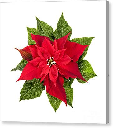 Poinsettias Canvas Print - Christmas Poinsettia  by Elena Elisseeva