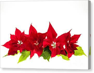 Poinsettias Canvas Print - Christmas Poinsettias by Elena Elisseeva