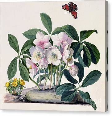 Christmas Rose Canvas Print by Georg Dionysius Ehret
