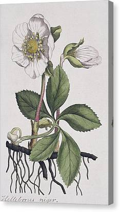 Christmas Rose, Historical Artwork Canvas Print by Science Photo Library