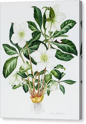 Christmas Rose Canvas Print by Sally Crosthwaite