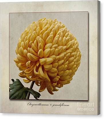 Chrysanthemum Grandiflorum Yellow Canvas Print by John Edwards
