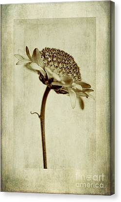 Chrysanthemum In Sepia Canvas Print by John Edwards