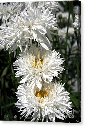 Canvas Print featuring the photograph Chrysanthemum Named Crazy Daisy by J McCombie