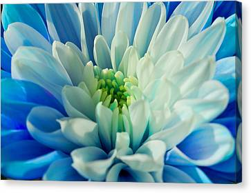 Chrysanthemum Canvas Print by Scott Carruthers