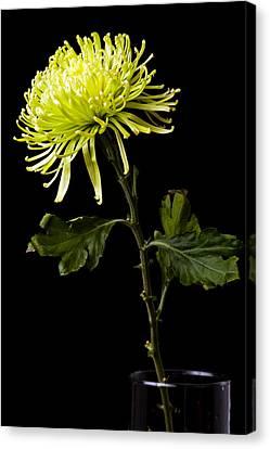 Canvas Print featuring the photograph Chrysanthemum by Sennie Pierson