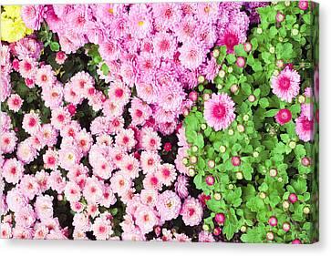 Chrysanthemums Canvas Print by Tom Gowanlock