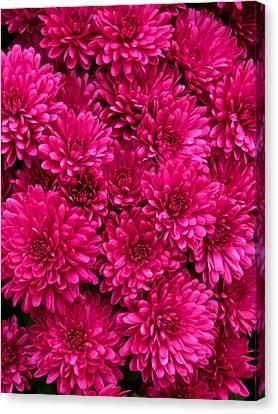 Chrysantheumums Canvas Print
