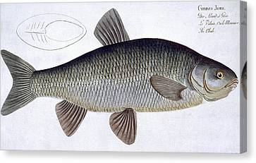 Chub Canvas Print by Andreas Ludwig Kruger