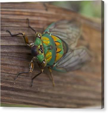 Green Whizzer Cicada Canvas Print