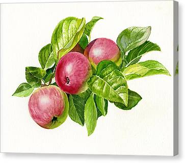 Cider Apples With White Background Canvas Print by Sharon Freeman