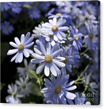 Cineraria 1225 Canvas Print by Terri Winkler