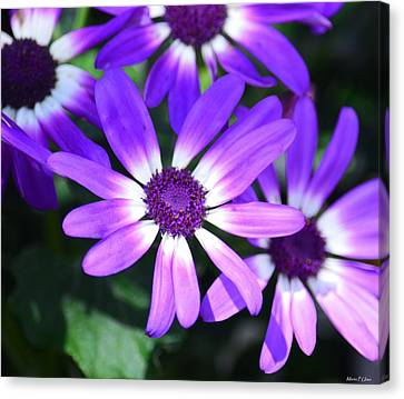 Cineraria Canvas Print by Maria Urso