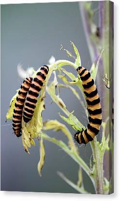 Cinnabar Moth Caterpillars Canvas Print