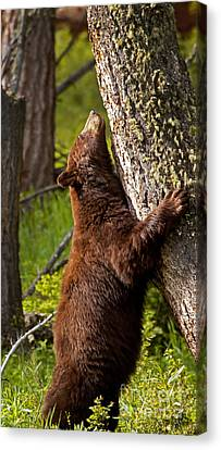 Canvas Print featuring the photograph Cinnamon Boar Black Bear by J L Woody Wooden