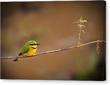 Aviary Canvas Print - Cinnamon-chested Bee-eater by Adam Romanowicz