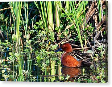 Cinnamon Teal And Dragonfly Canvas Print