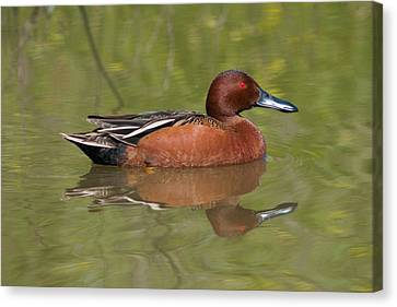 Cinnamon Teal Canvas Print by Doug Herr