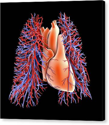 Circulatory System Canvas Print - Circulatory System Of Heart And Lungs by Alfred Pasieka