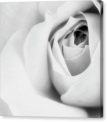 Citrine Rose Bw Palm Springs Canvas Print by William Dey