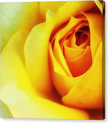 Citrine Rose Palm Springs Canvas Print by William Dey