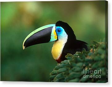 Citron-throated Toucan Canvas Print by Art Wolfe