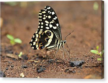 Citrus Butterfly Puddling Jozani Canvas Print by Thomas Marent