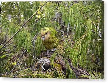 New Individuals Canvas Print - Ckakapo Male In Forest Codfish Island by Tui De Roy
